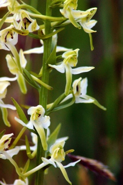Butterfly Orchid - Keith Moseley