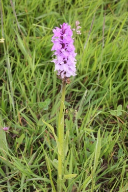 Adder's-tongue Fern and Southern Marsh Orchid in Kingcoed Meadow